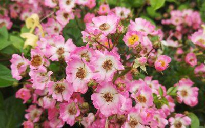 Rózsaszirom macerátum